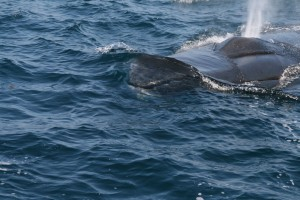 Fin Whale inspects sail channel Islands