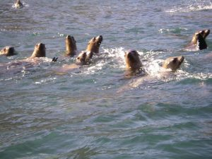 Santa Barbara Island friendly adolescent sea lions